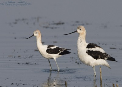 Male American Avocet Fluffs up