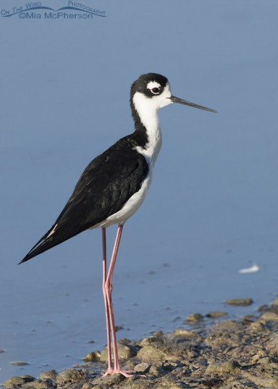 Male Black-necked Stilt near the auto loop at Bear River