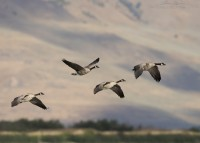 Canada Geese in flight in front of the Promontory Mountains