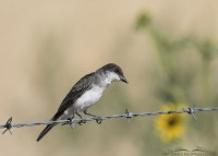 Eastern Kingbird hawking insects from a fence