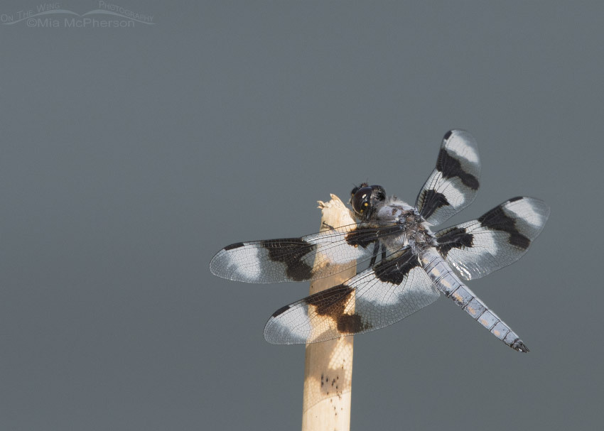 Eight-spotted Skimmer Images