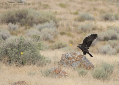 First year Golden Eagle on a lichen covered boulder