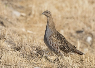 Gray Partridge juvenile in Box Elder County