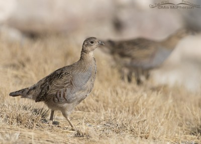 Juvenile Gray Partridge