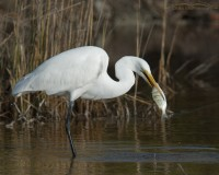 Great Egret with large fish
