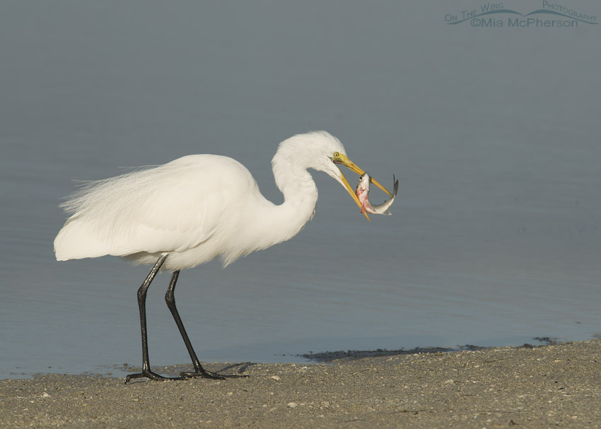 Great Egret trying to eat a Mullet