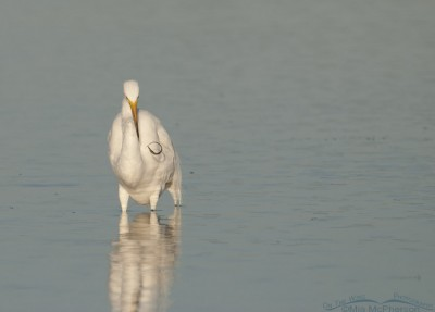 Great Egret with Pipefish