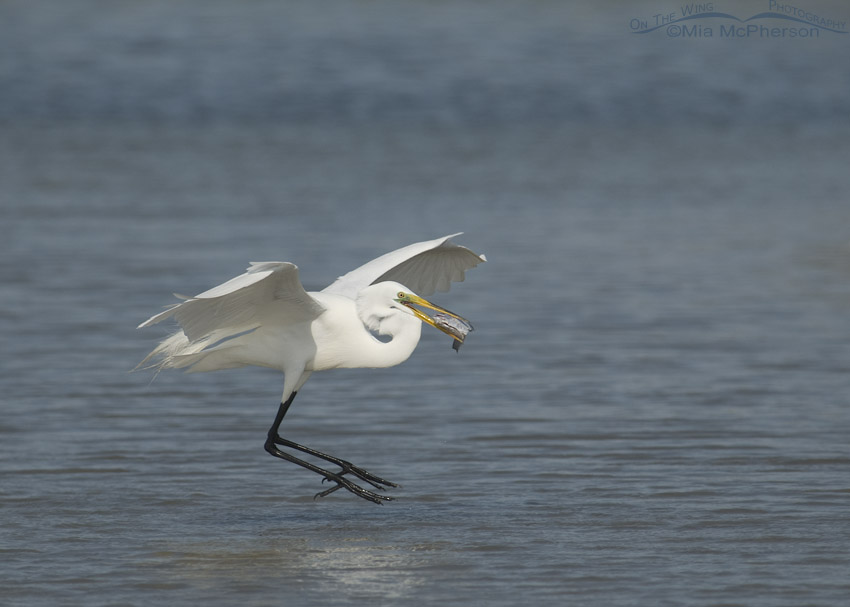 Great Egret Landing With Dinner Mia Mcpherson 39 S On The