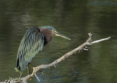 Perched Green Heron