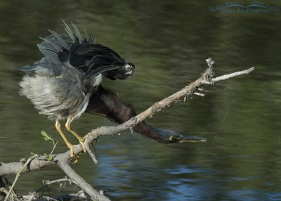 Stretched out Green Heron