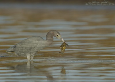 Little Blue Heron with Blue Crab in a tidal lagoon