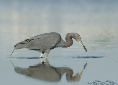 Little Blue with prey in a still lagoon
