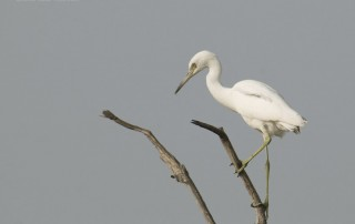 First year Little Blue Heron