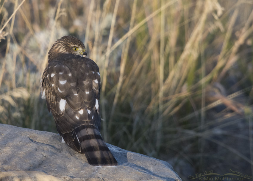 Young Sharp-shinned Hawk on a boulder