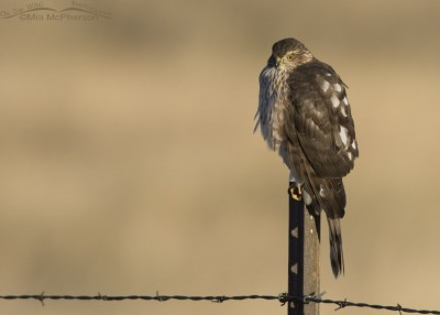 Centennial Valley immature Sharp-shinned Hawk