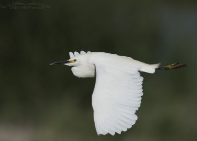 Adult Snowy Egret in flight over Bear River MBR