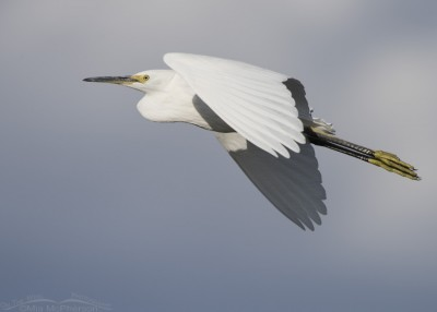 Snowy Egret in flight against a stormy sky