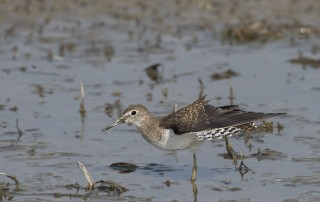 Solitary Sandpiper stretching