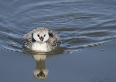 Fluffy Western Grebe chick at Bear River MBR