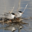 Forster's Tern mated pair on nest