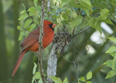 Male Northern Cardinal perched on Greenbrier