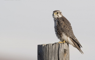 Prairie Falcon with a white cloud in the background