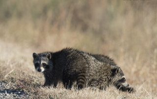 Raccoon cubs at Bear River Migratory Bird Refuge