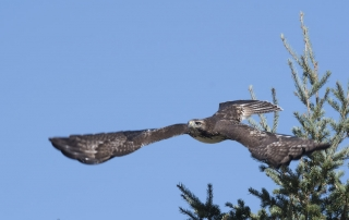 Juvenile Red-tailed Hawk immediately after take off