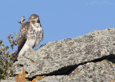 Juvenile Red-tailed Hawk on a lichen covered boulder