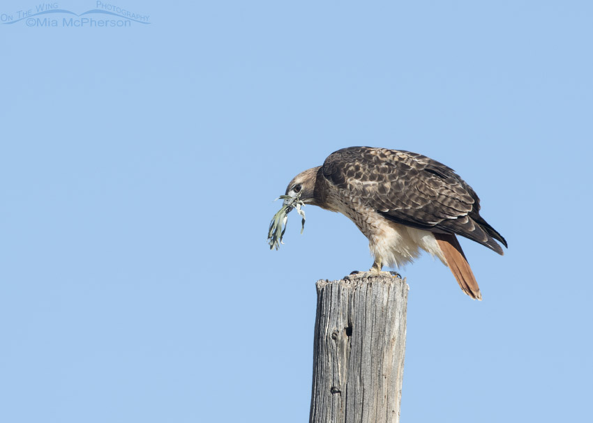 Red-tailed Hawk with nesting material in Autumn