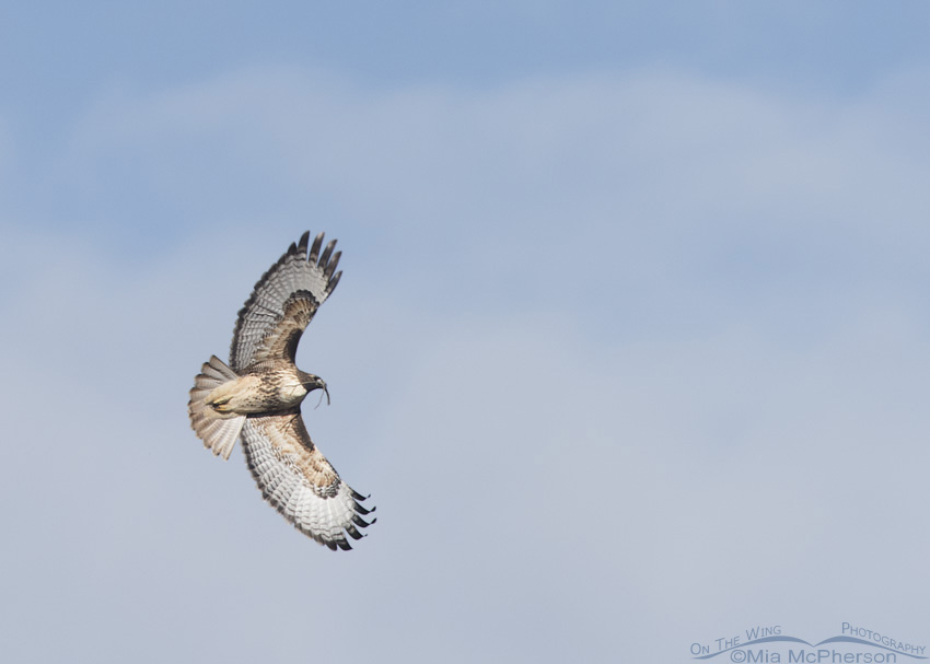 Adult Red-tailed Hawk in flight with nesting materials in the Fall