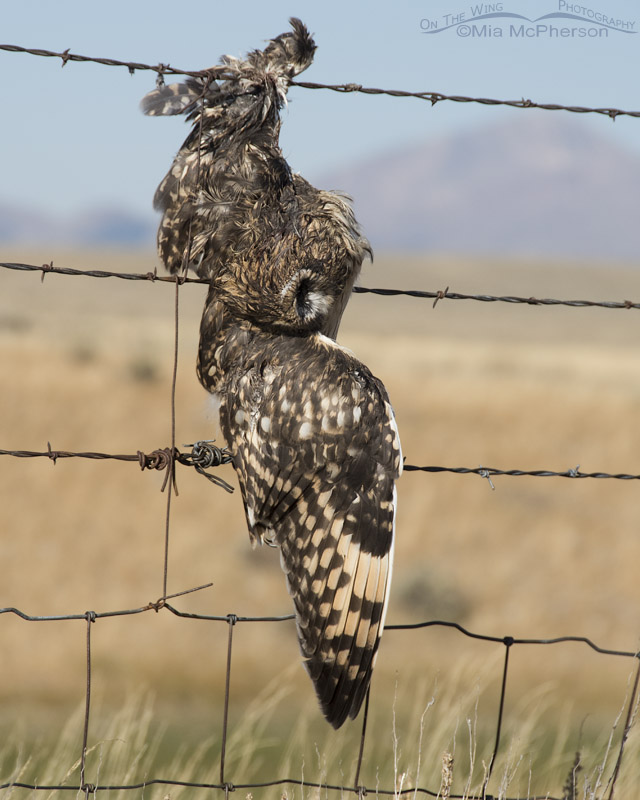 Deceased juvenile Short-eared Owl on barbed wire