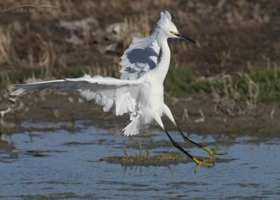 Snowy Egret landing at Farmington Bay