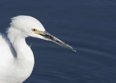 Close up of a hunting Snowy Egret