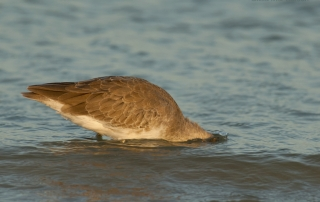 Willet foraging in the Gulf of Mexico