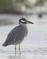Yellow-crowned Night Heron in low, silvery light