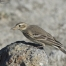 American Pipit with grit