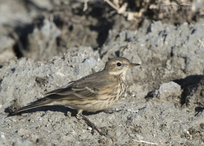 American Pipit on fall migration