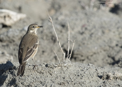 American Pipit with prey in its bill