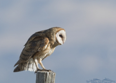 Barn Owl watching something in the distance
