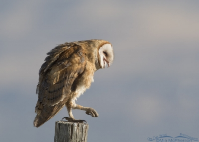 Barn Owl with bill open and one foot raised