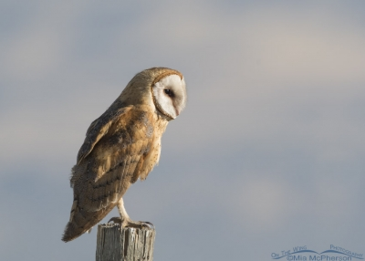 Barn Owl in front of the Wasatch Range