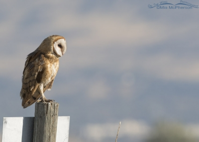 Barn Owl on a sign post at Farmington Bay WMA