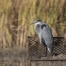 Great Blue Heron resting in a Canada Goose nest