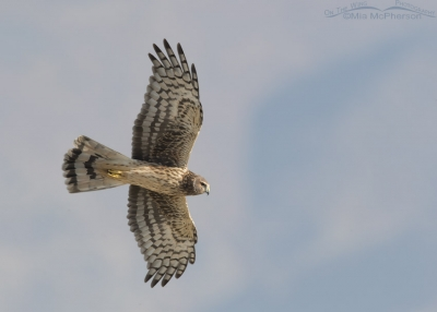 Northern Harrier flying over a Barn Owl