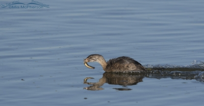 Immature Pied-billed Grebe scooting across the water with prey
