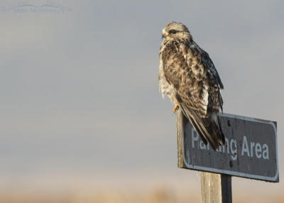 Rough-legged Hawk on Parking Area sign