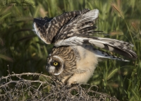 Fledgling Short-eared Owl lifting its wings