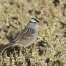 Adult White-crowned Sparrow feeding on seeds