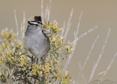 Feeding White-crowned Sparrow in a breeze